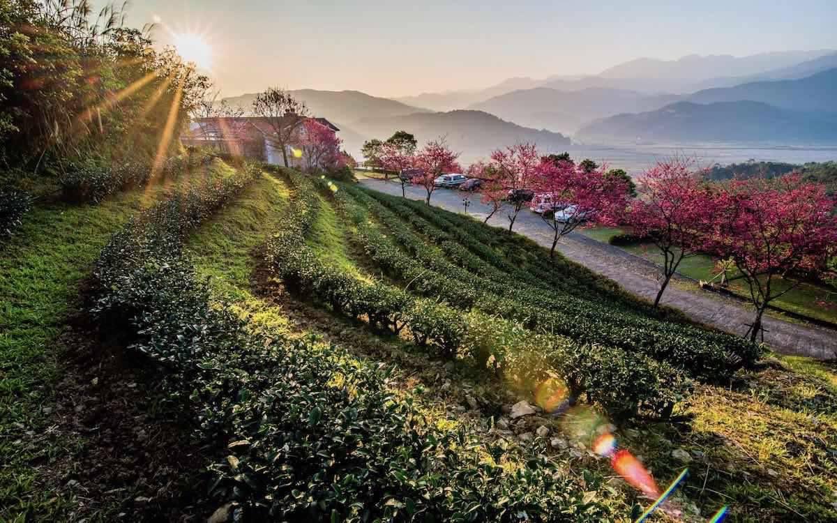 隱身於茶園半山腰的賞櫻秘境